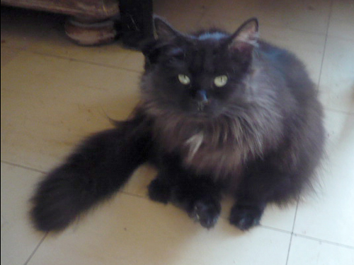 chat poil angora noire à adopter